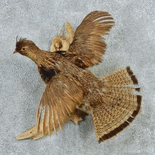 Flying Ruffed Grouse Taxidermy Mount #12767 For Sale @ The Taxidermy Store