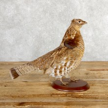 Ruffed Grouse Bird Mount For Sale #19770 @ The Taxidermy Store