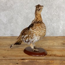Ruffed Grouse Bird Mount For Sale #19772 @ The Taxidermy Store