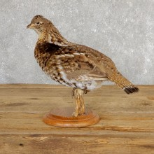Ruffed Grouse Bird Mount For Sale #19773 @ The Taxidermy Store
