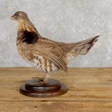 Ruffed Grouse Bird Mount For Sale #19774 @ The Taxidermy Store