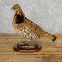 Ruffed Grouse Bird Mount For Sale #19776 @ The Taxidermy Store