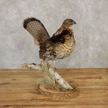 Ruffed Grouse Bird Mount For Sale #20122 @ The Taxidermy Store