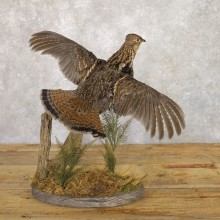 Ruffed Grouse Bird Mount For Sale #22227 @ The Taxidermy Store