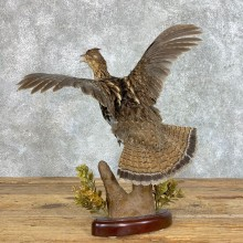 Ruffed Grouse Bird Mount For Sale #22820 @ The Taxidermy Store