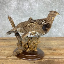 Ruffed Grouse Bird Mount For Sale #22821 @ The Taxidermy Store