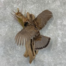 Ruffed Grouse Bird Mount For Sale #23532 @ The Taxidermy Store