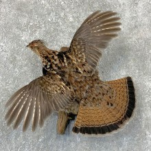 Ruffed Grouse Bird Mount For Sale #23534 @ The Taxidermy Store