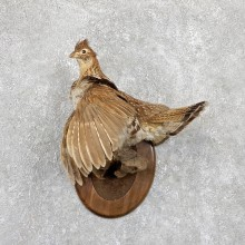 Ruffed Grouse Taxidermy Bird Mount For Sale #19424 @ The Taxidermy Store