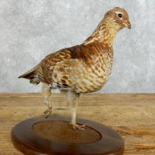 Ruffed Grouse Bird Mount For Sale #18364 @ The Taxidermy Store