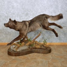 Black Alaskan Wolf Mount For Sale #14910 @ The Taxidermy Store