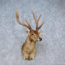 Javan Rusa Deer Shoulder Mount For Sale #15056 @ The Taxidermy Store