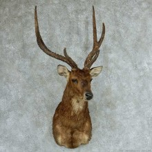 Rusa Deer Shoulder Mount #13314 For Sale @ The Taxidermy Store