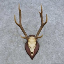 Rusa Deer Skull European Mount For Sale #14618 @ The Taxidermy Store