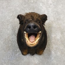 Russian Boar Shoulder Mount For Sale #21107 @ The Taxidermy Store