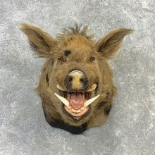 Russian Boar Shoulder Mount For Sale #23116 @ The Taxidermy Store