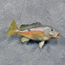 Black Spot Snapper Saltwater Fish Mount #12233 For Sale @ The Taxidermy Store