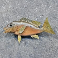 Black Spot Snapper Saltwater Fish Mount #12234 For Sale @ The Taxidermy Store