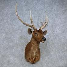 Sambar Deer Taxidermy Shoulder Mount For Sale