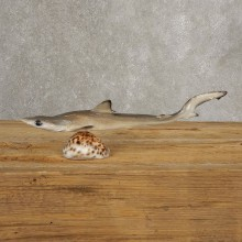 Thresher Shark Taxidermy Fish Mount #21034 @ The Taxidermy Store