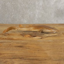 Sand Shark Taxidermy Fish Mount #21036 @ The Taxidermy Store