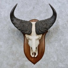 Savanna Buffalo Skull European Mount For Sale #14529 @ The Taxidermy Store