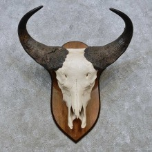 Savanna Buffalo Skull European Mount For Sale #14533 @ The Taxidermy Store