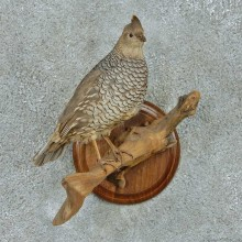 Perched Scaled Quail Life Size Taxidermy Mount #13661 For Sale @ The Taxidermy Store