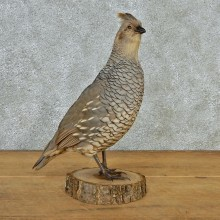 Scaled Quail Taxidermy Bird Mount #12685 For Sale @ The Taxidermy Store