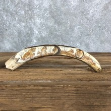 Scrimshawed Warthog Tooth For Sale #19580 @ The Taxidermy Store