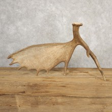 Self Standing Moose Antler For Sale #20664 @ The Taxidermy Store