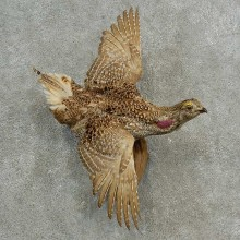 Sharp-tailed Grouse Bird Mount For Sale #17002 @ The Taxidermy Store