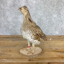 Sharp-tailed Grouse Bird Mount For Sale #21774 @ The Taxidermy Store
