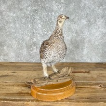 Sharp-tailed Grouse Taxidermy Bird Mount For Sale
