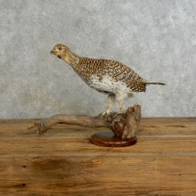 Sharp-tailed Grouse Bird Mount For Sale #17223 @ The Taxidermy Store