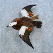 Paradise Shelduck Bird Mount For Sale #15548 @ The Taxidermy Store