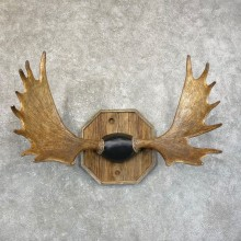 Shiras Moose Antler Plaque For Sale #24594 @ The Taxidermy Store