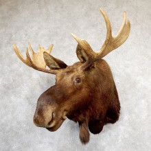 Shiras Moose Shoulder Taxidermy Mount #19320 For Sale @ The Taxidermy Store