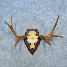 Siberian Moose Antler Plaque Mount For Sale #15490 @ The Taxidermy Store