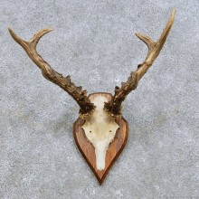 Roe Deer Skull Cap & Antler Mount For Sale #14447 @ The Taxidermy Store
