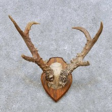 Siberian Roe Deer Antler Mount For Sale #14445 @ The Taxidermy Store