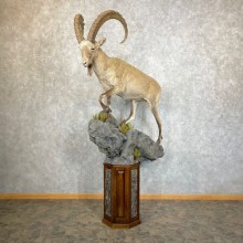 Siberian Ibex Taxidermy Life-Size Mount #24478 For Sale @ The Taxidermy Store