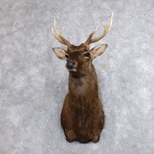 Sika Deer Shoulder Mount For Sale #18630 @ The Taxidermy Store