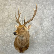 Sika Deer Shoulder Mount For Sale #25166 @ The Taxidermy Store