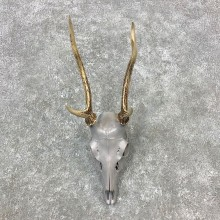 Sika Deer Skull Antler European Mount For Sale #23289 @ The Taxidermy Store