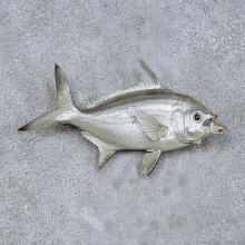 Silver Fish Life Size Taxidermy Mount For Sale #13978 @ The Taxidermy Store
