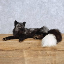 Laying Silver Fox Mount For Sale #14714 @ The Taxidermy Store