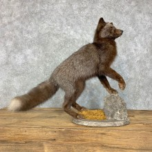 Silver Fox Life-Size Mount For Sale #23498 @ The Taxidermy Store