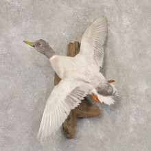 Silver Mallard Duck Flying Taxidermy Mount #22530 for sale @ The Taxidermy Store