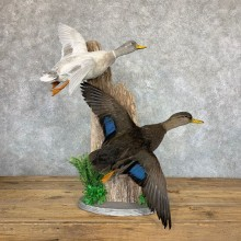 Black Duck & Silver Mallard Duck Taxidermy Mount #22964 for sale @ The Taxidermy Store